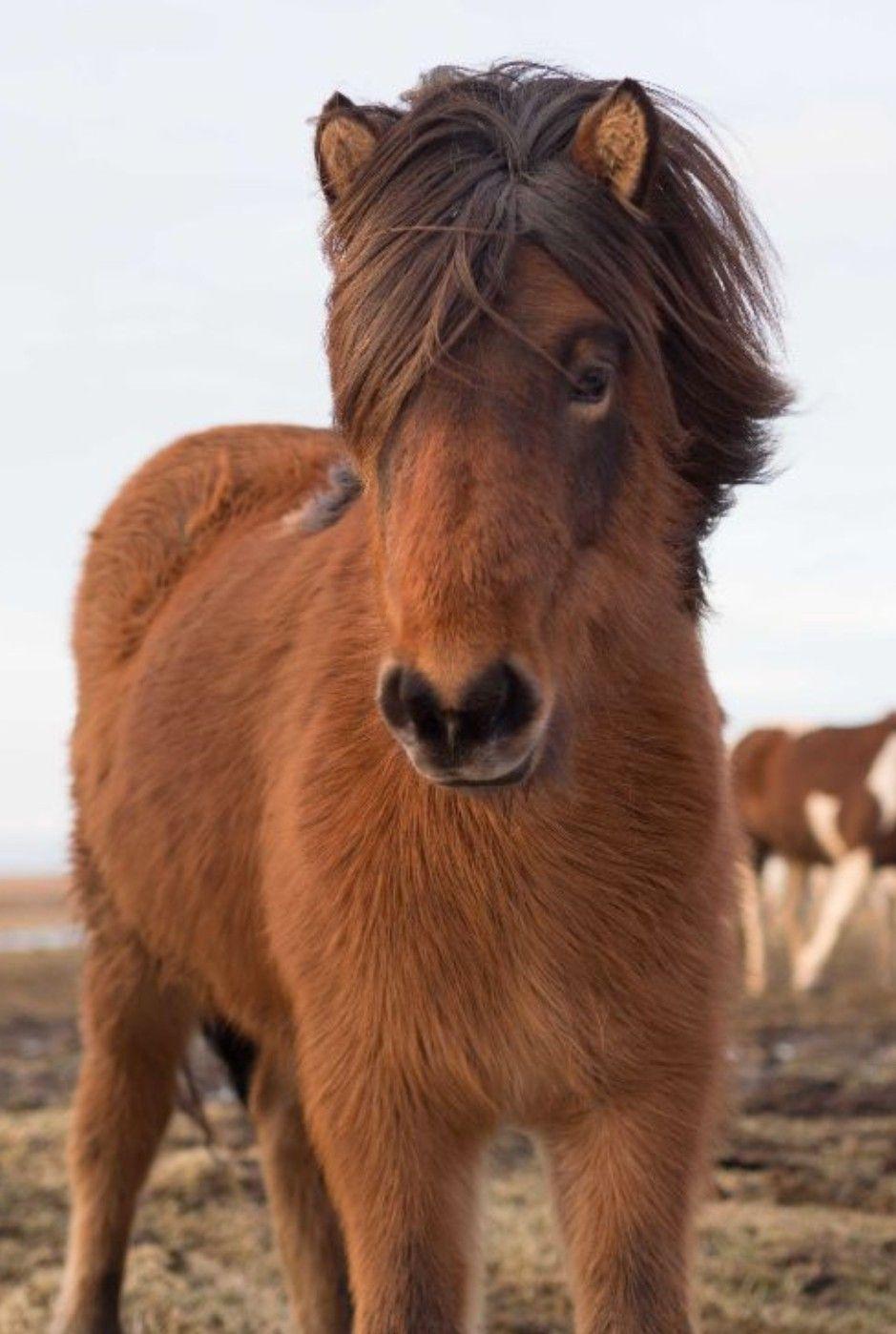 Pin Von Anna Fassler Auf Pferde Islandpferde Pferde Shetlandpony