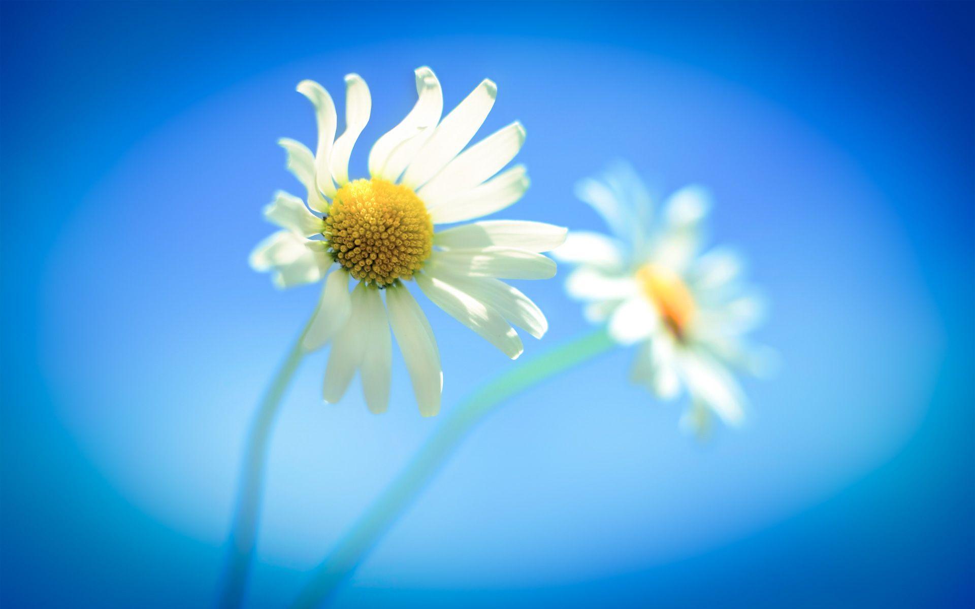 Official Windows 8 1 Flowers Wallpaper Hd Widescreen Picture Image Windows Wallpaper Windows 8 Daisy Wallpaper
