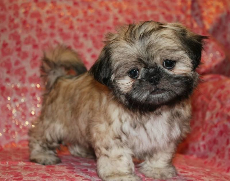 Breeding all colors of Shih Tzu Puppies in Texas (With