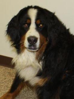 7 11 17 Kalispell Mt Bernese Mountain Dog Mix Meet 35886208 A