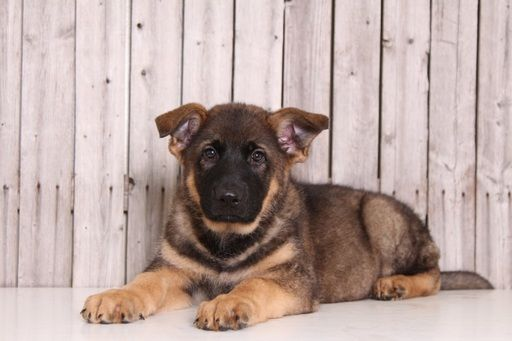 German Shepherd Dog Puppy For Sale In Mount Vernon Oh Adn 29671