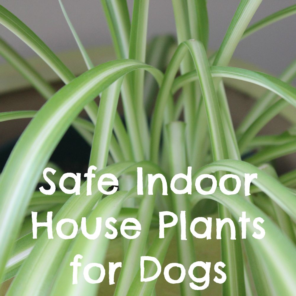 NonToxic Indoor House Plants for Dogs Health info