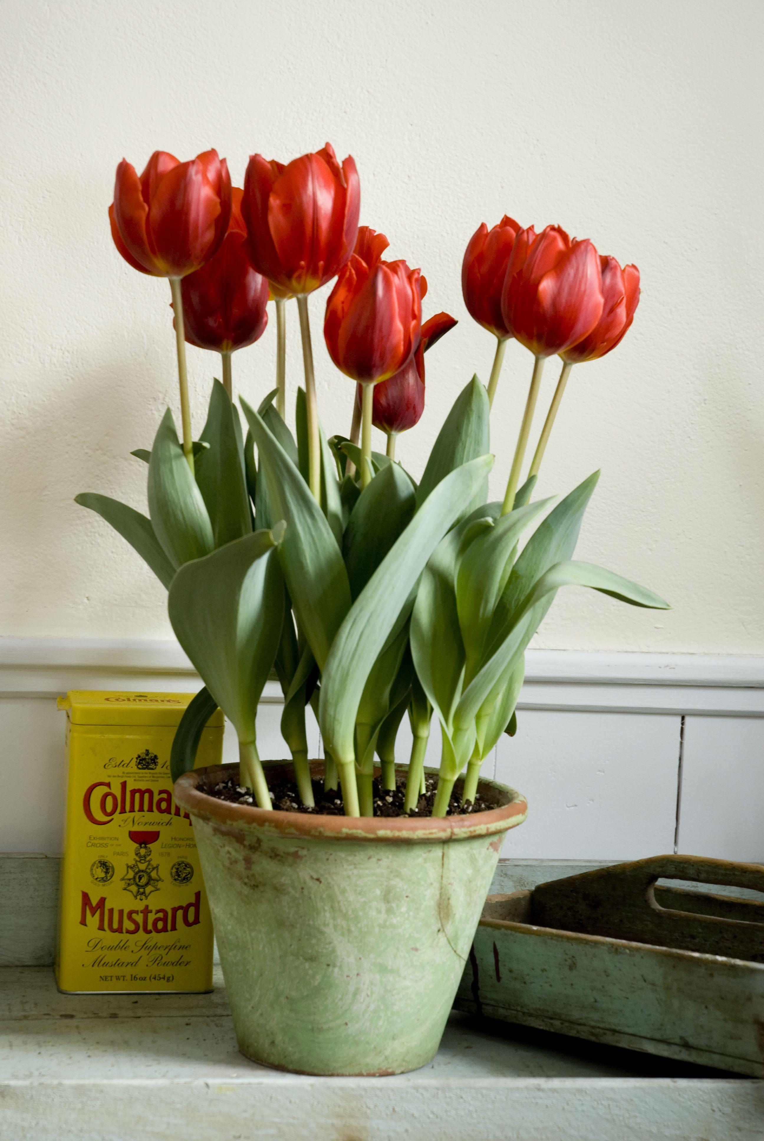 Escape Triumph Tulip Pre Chilled Tulips Arrangement Planting Tulips Bulb Flowers