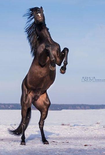 Beautiful Wild Rearing Seal Brown Mustang.