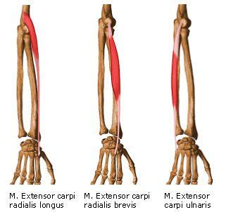 SW Sportmassage © - Anatomie - M. Extensor carpi radialis & M. Extensor carpi ulnaris