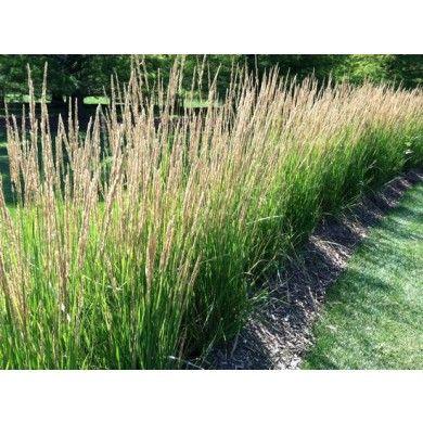 Struisriet Siergrassen Planten Outdoor Online Tuincentrum Bb Tuinproducten Ornamental Grasses Landscaping Plants Outdoor Garden