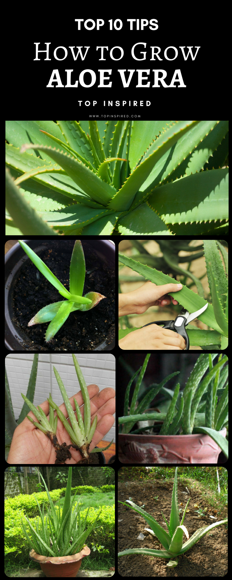 10 Tips On How To Grow Aloe Vera Step By Step Gardening