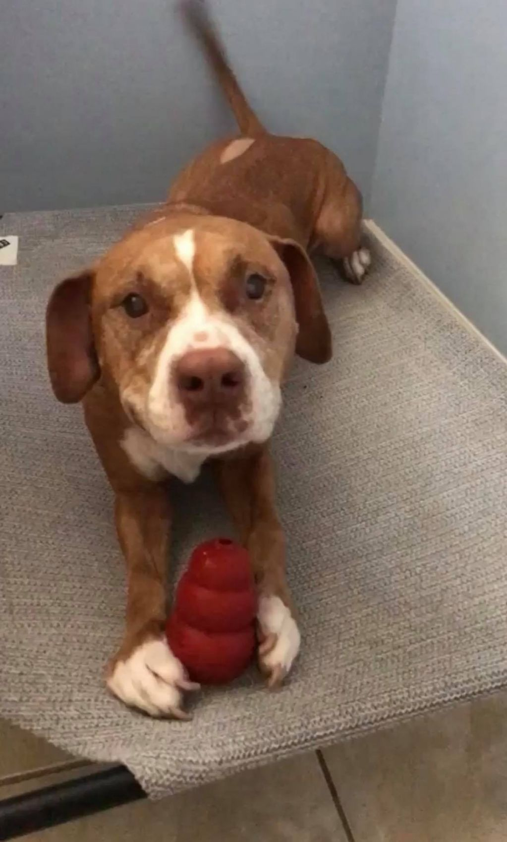 Adopt Hepburn On Pet Adoption Dogs Puppies Pitbull Terrier