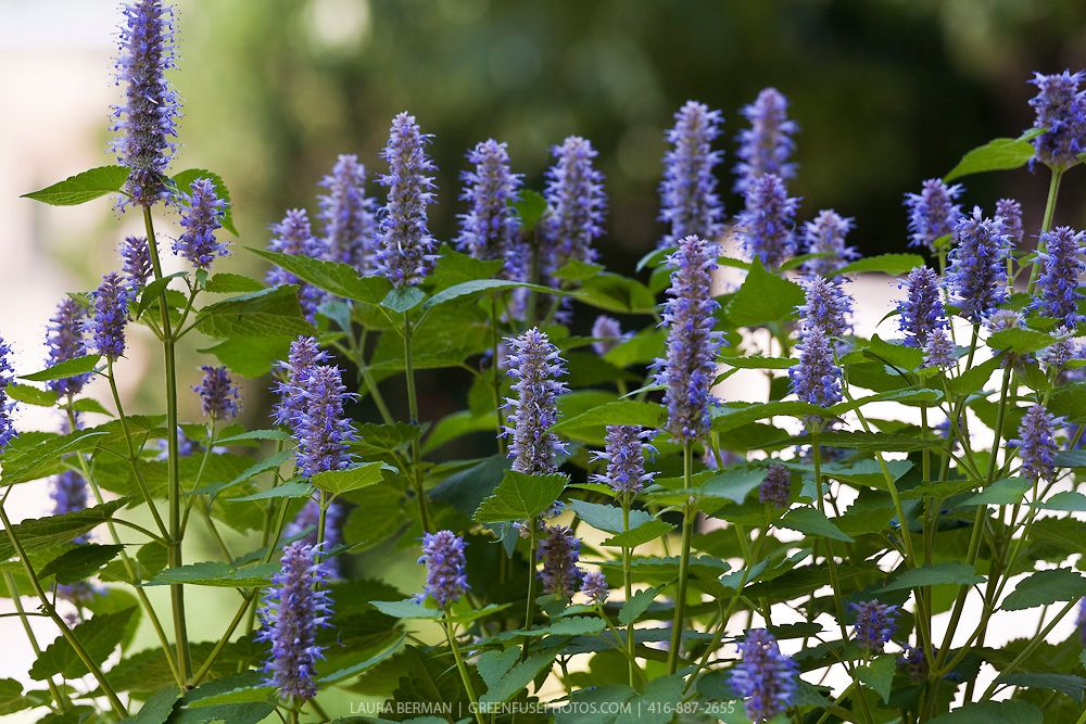 Anise or lavender hyssop agastache foeniculum gf for Agastache cuisine