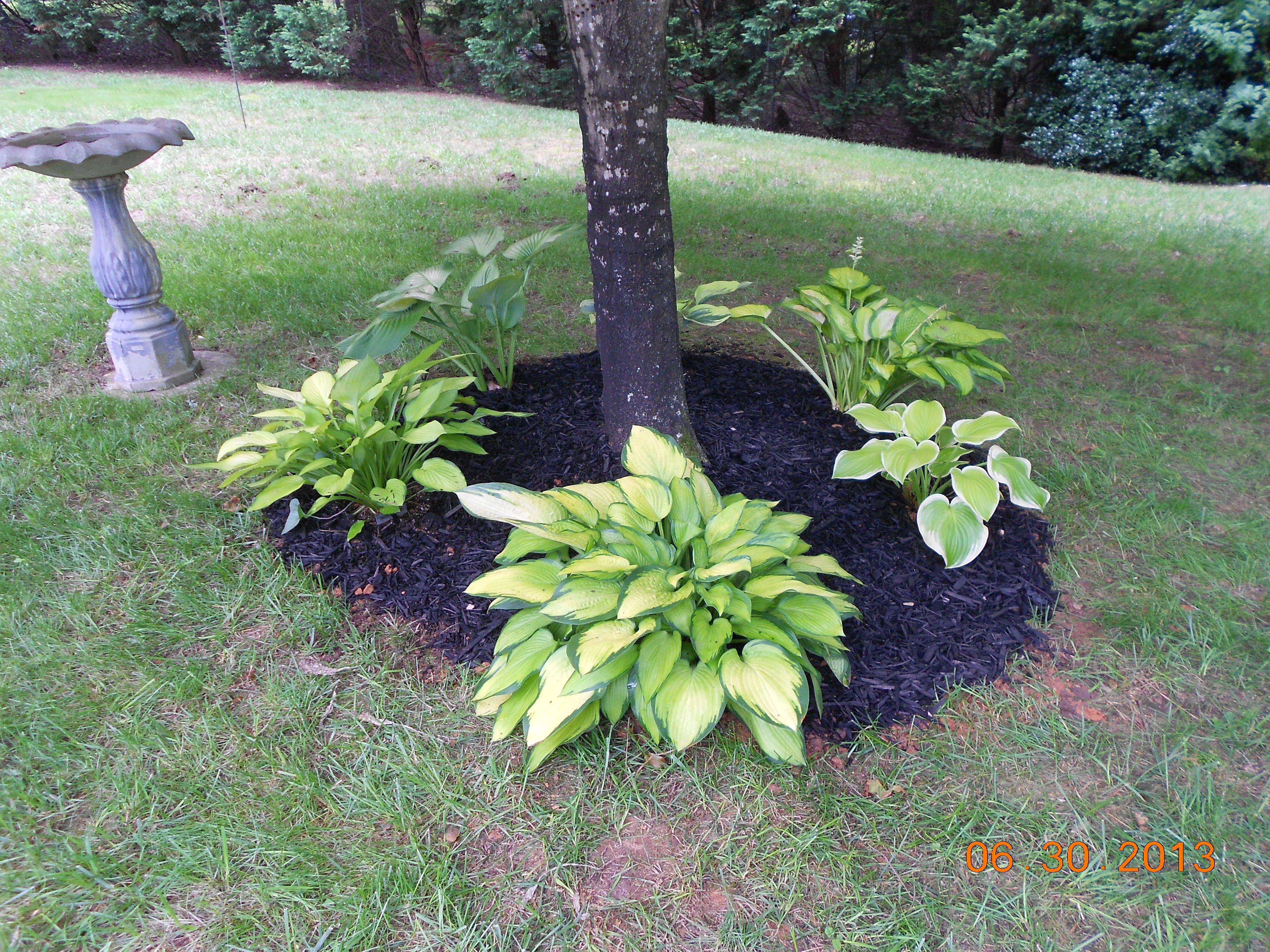 Hostas around tree 2013 Front landscaping, Hostas, Plants