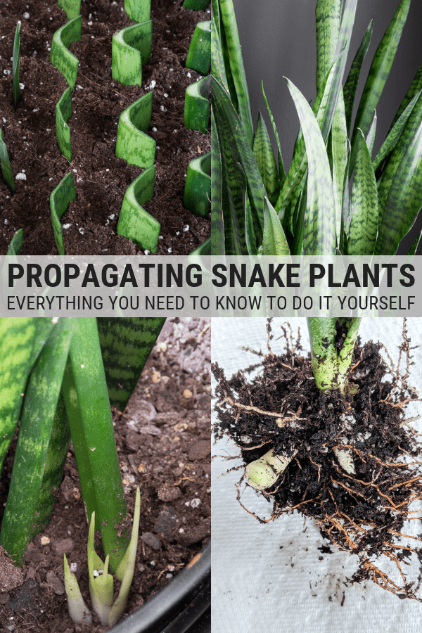 How To Propagate Snake Plants Plants Plant Cuttings Snake Plant