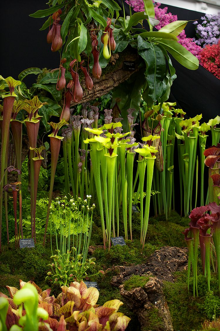 hampshire carnivorous plants at chelsea flower garden gardening pinterest. Black Bedroom Furniture Sets. Home Design Ideas