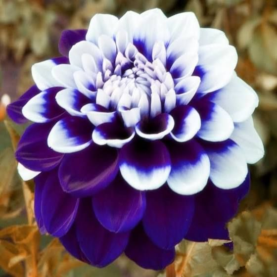 Blue Dahlia Tubers Beautiful Flowers Flower Seeds Unusual Flowers
