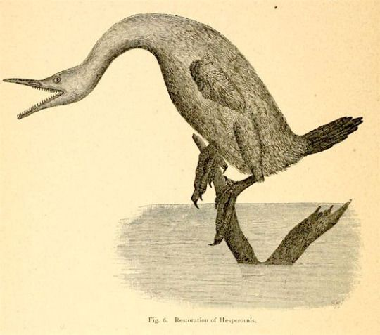 "nemfrog| Fig. 6. ""Restoration of Hesperornis."" Visitors' guide to the collection of birds in the American Museum of Natural History. 1888."