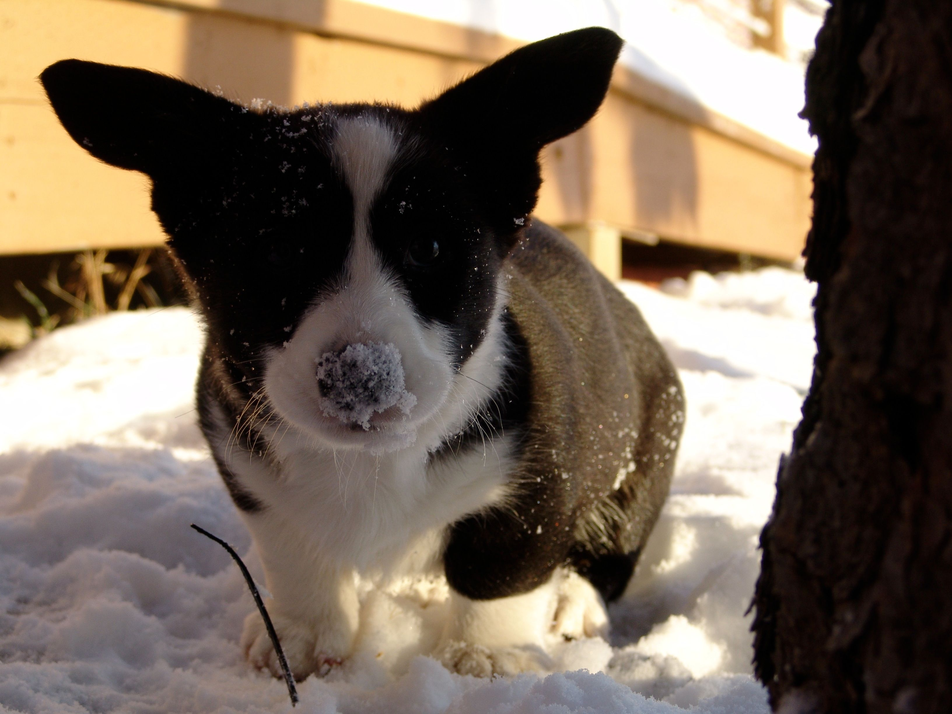 Corgi puppy uc love this pinterest corgi puppies puppys and