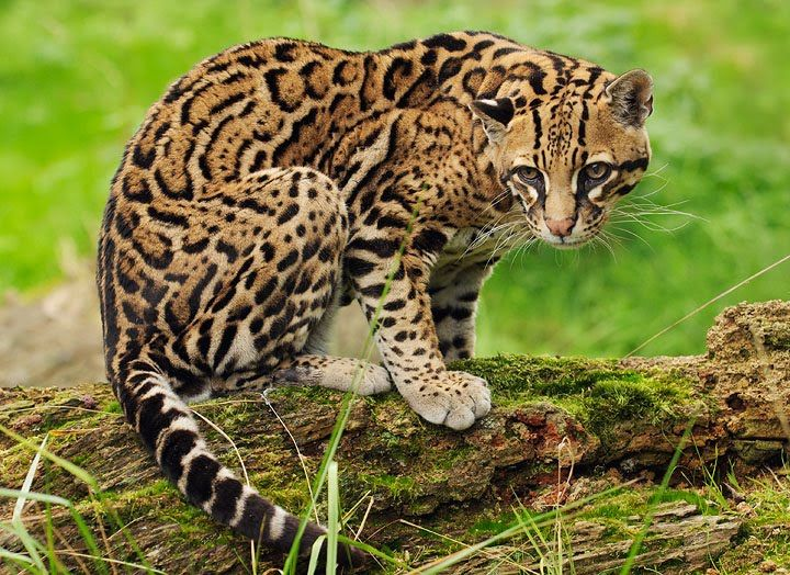The Ocelot With Images Small Wild Cats Most Beautiful Animals