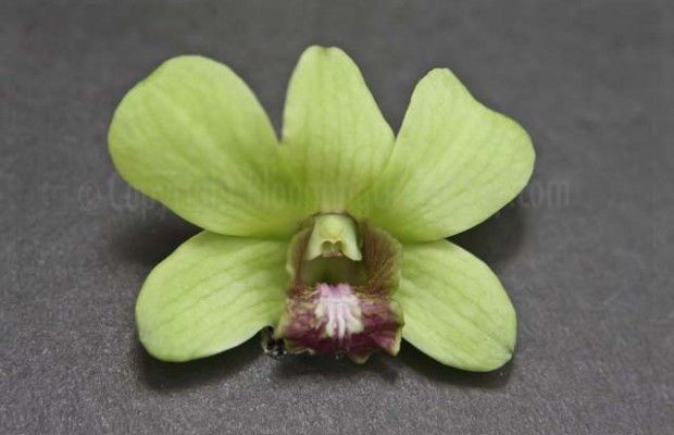 Burana Jade Green Dendrobium Blooming Orchid Orchids Flowers