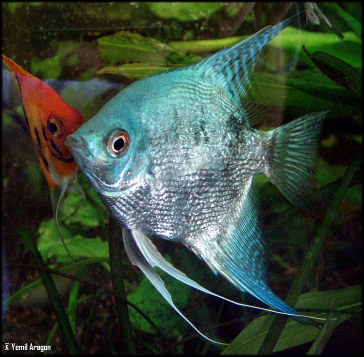 Blue angelfish freshwater blue angelfish freshwater more for Exotic freshwater fish