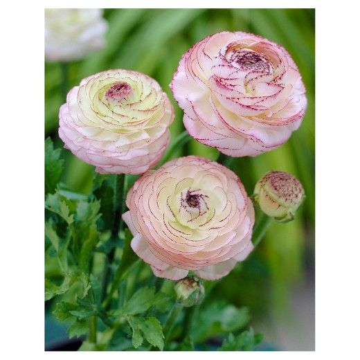 Butter Cups Ranunculus Double Picotee Set Of 25 Bulbs Van Zyverden Target With Images Bulb Flowers Flowers Beautiful Flowers
