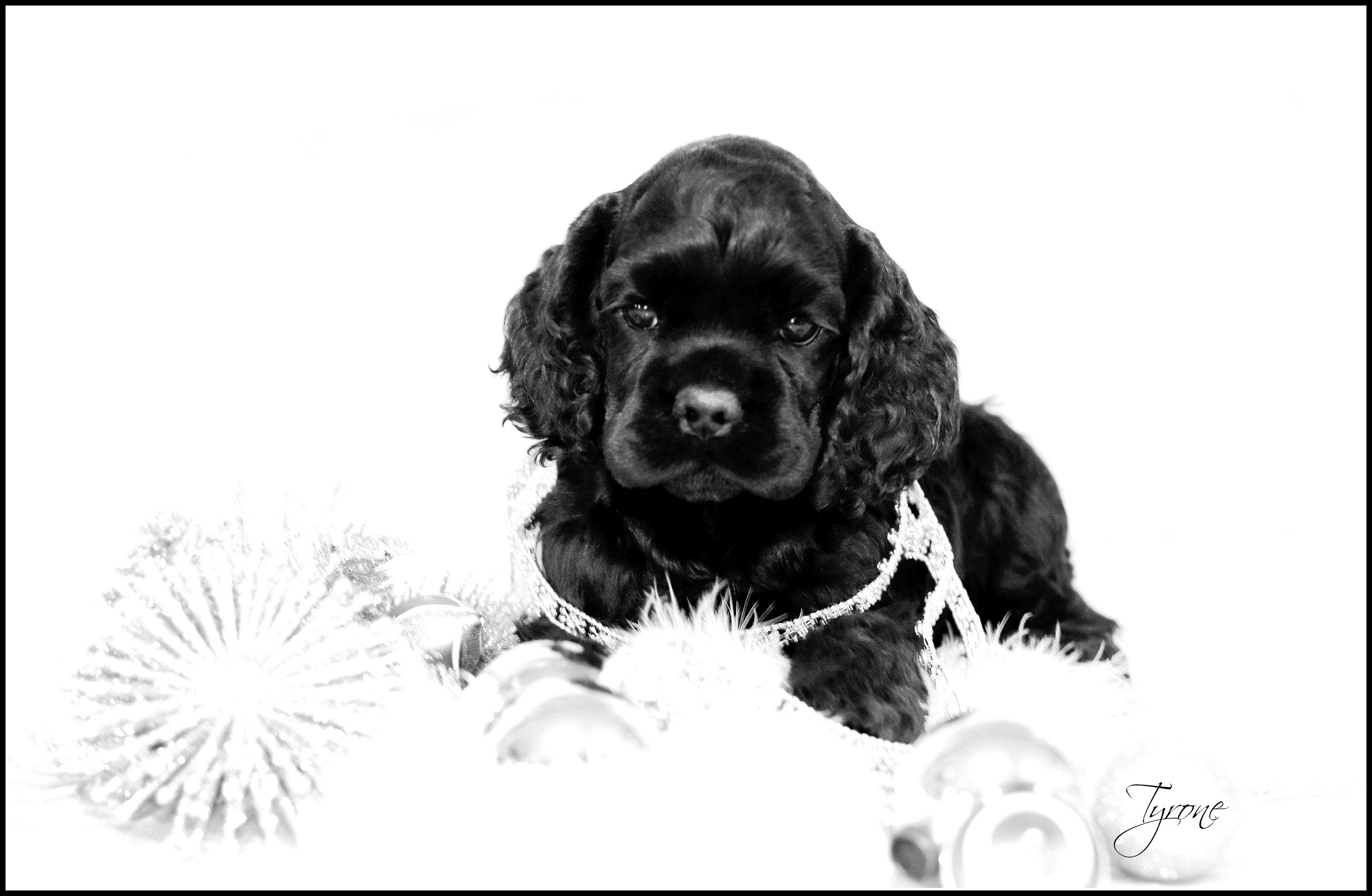 Gorgeous Black Boy In Black And White No Color Needed Cocker Spaniel Puppies American Cocker Spaniel Cocker Spaniel