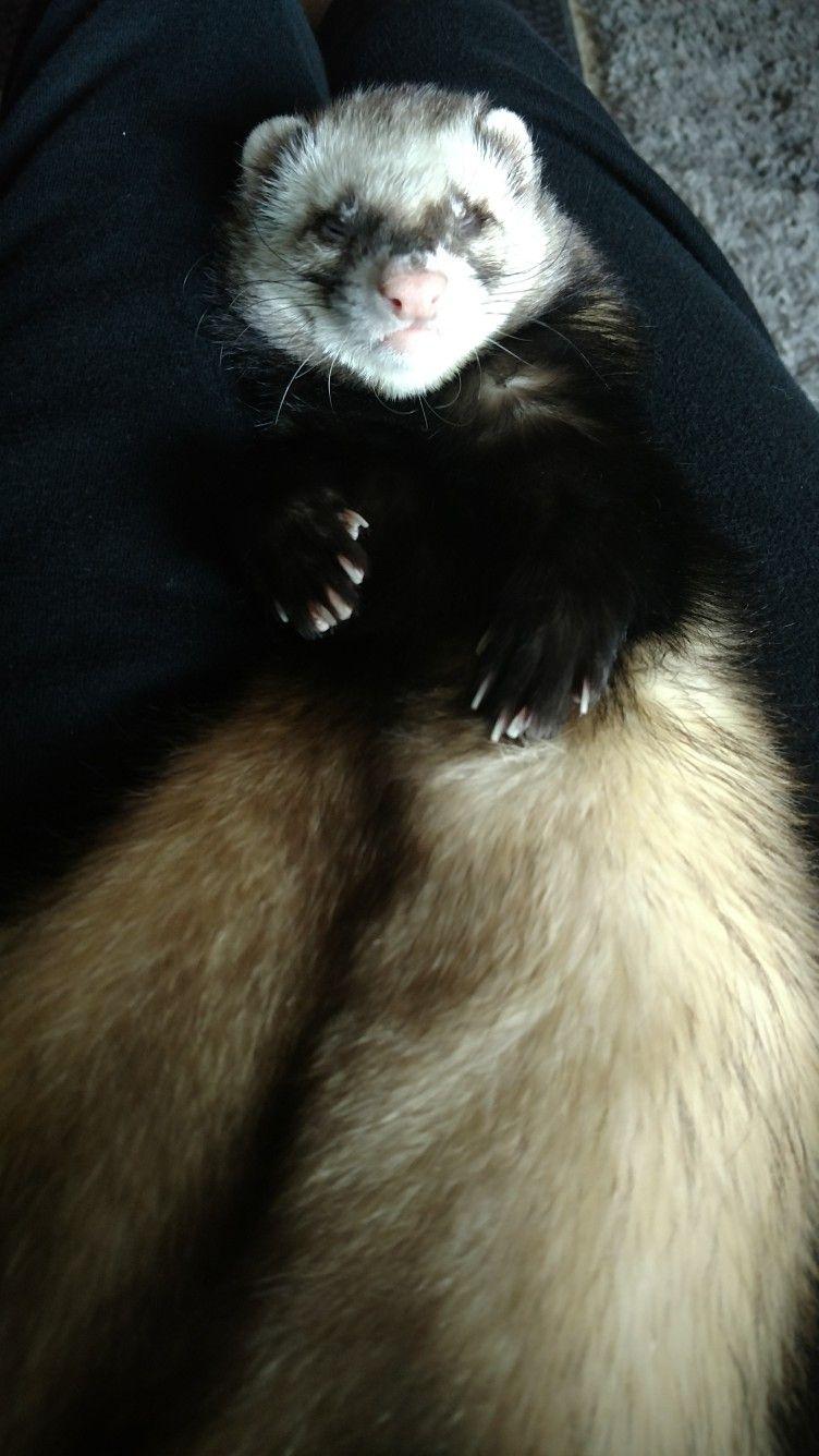 Ferrets Ferret, Cute ferrets, Stoat