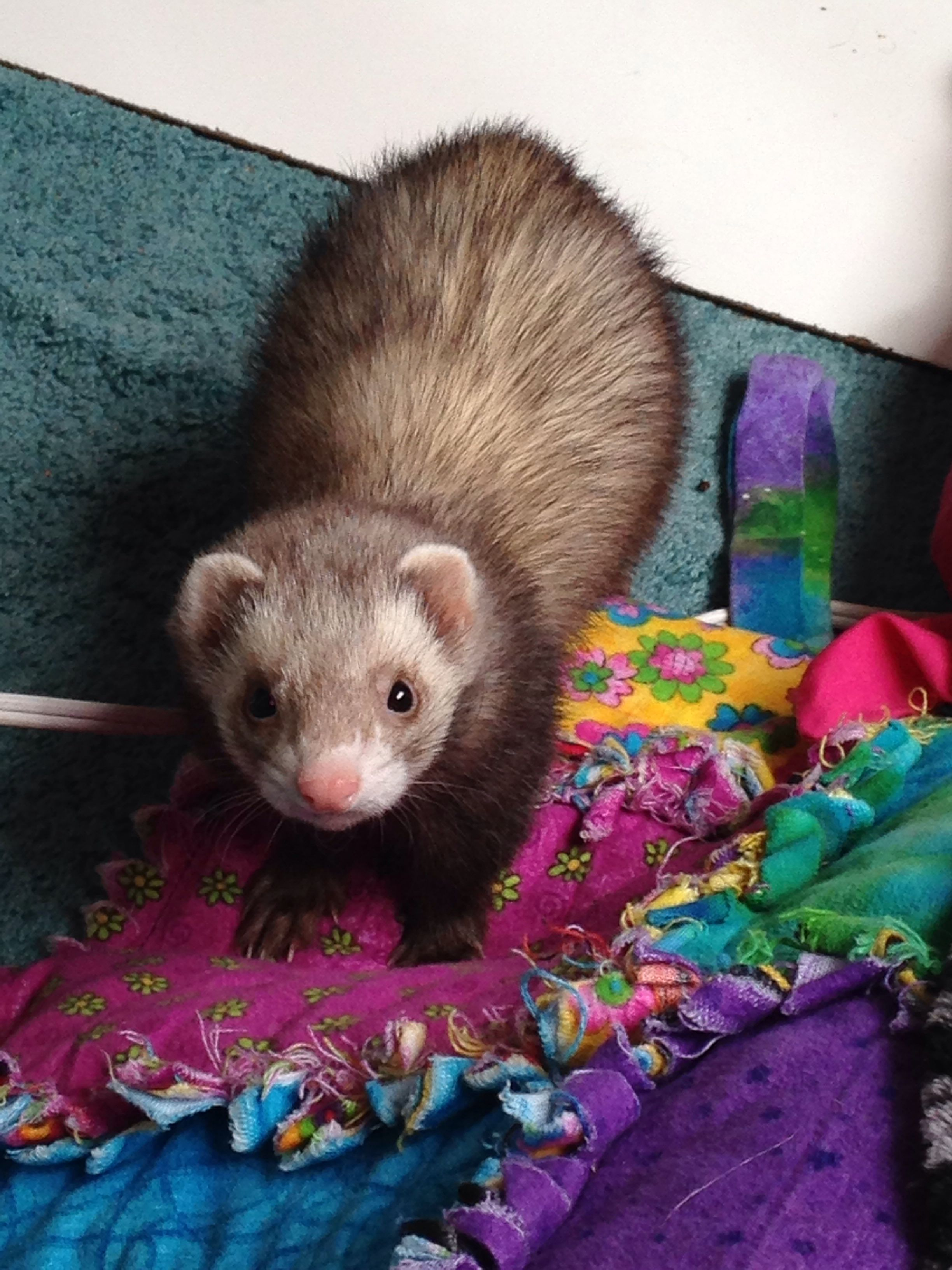Ferrets Cute Ferrets Ferret Lovely Creatures