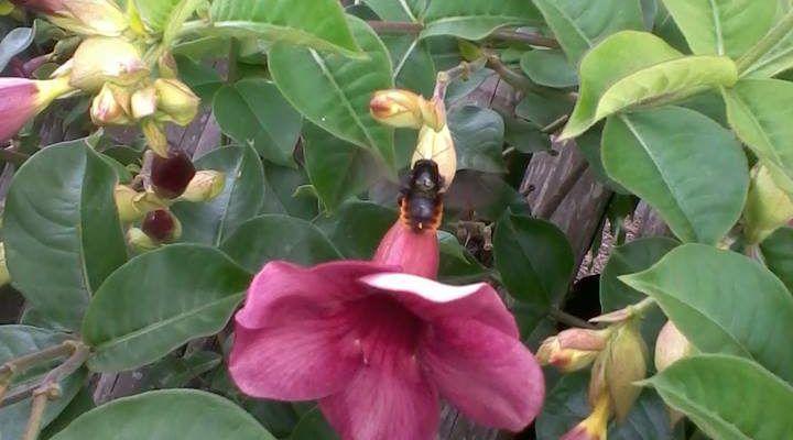 Alamanda-roxa (Alamanda Cathartica) -PLANTASONYA