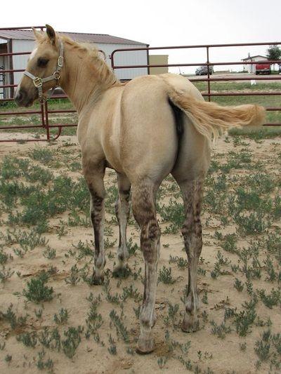 Kona, 2013 dunalino filly - Sundog Quarter Horses