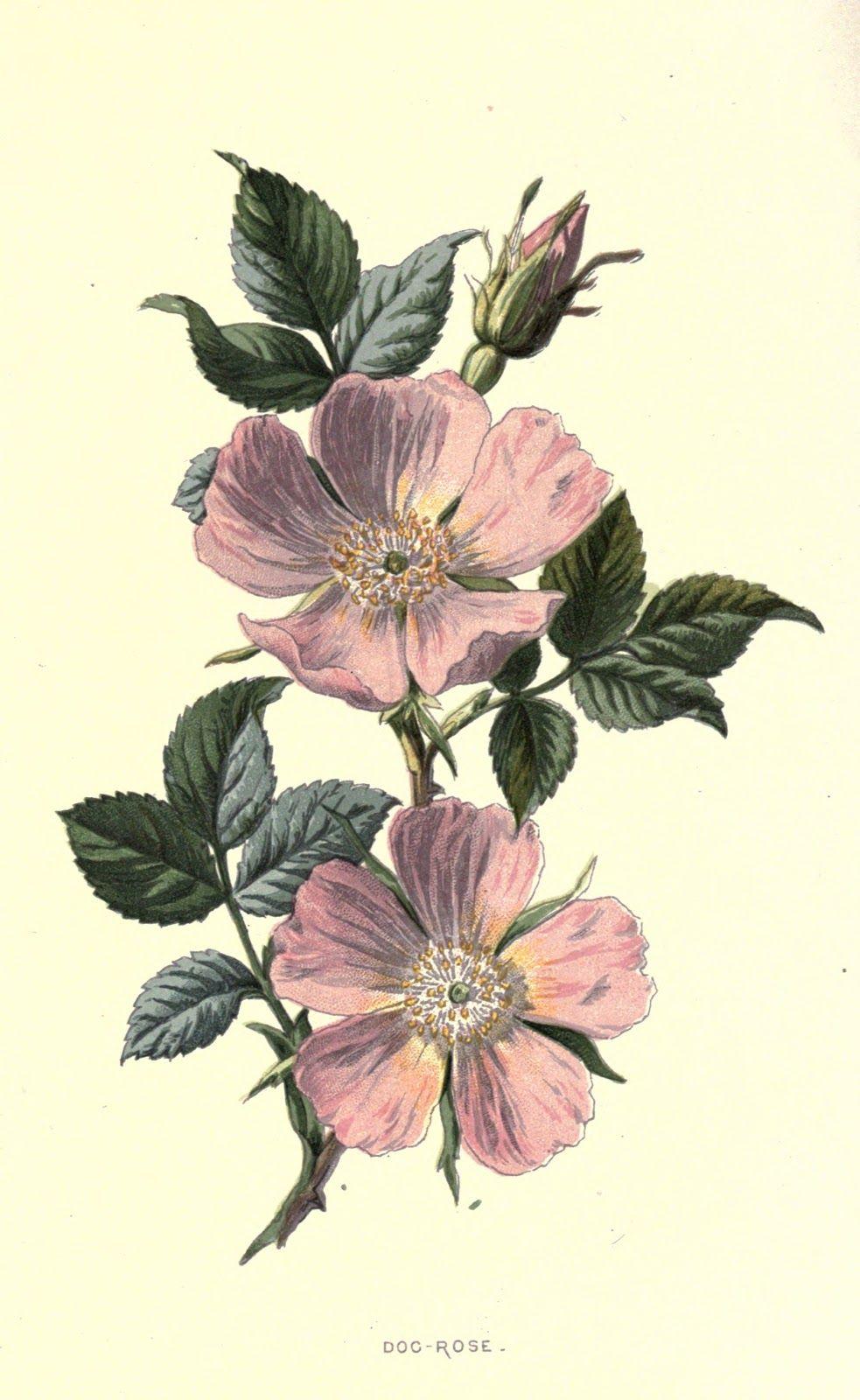 VeronicaDecor Familiar wild flowers 1 … Wild rose