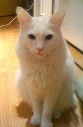 Adopt Blizzard On Diy Great Ideas Pinterest Angora Cats Cats