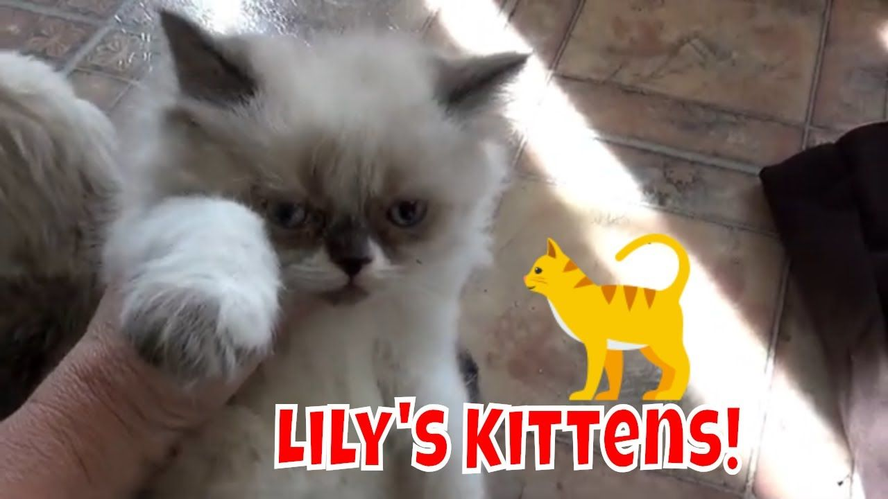 Lily S Kittens Are 7 Weeks Old Persian Kittens Persian Kittens Kittens Persian Cat