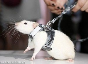 Yes. I own a rat. And yes, he has a leash. | Cutesy Cuddly Critters