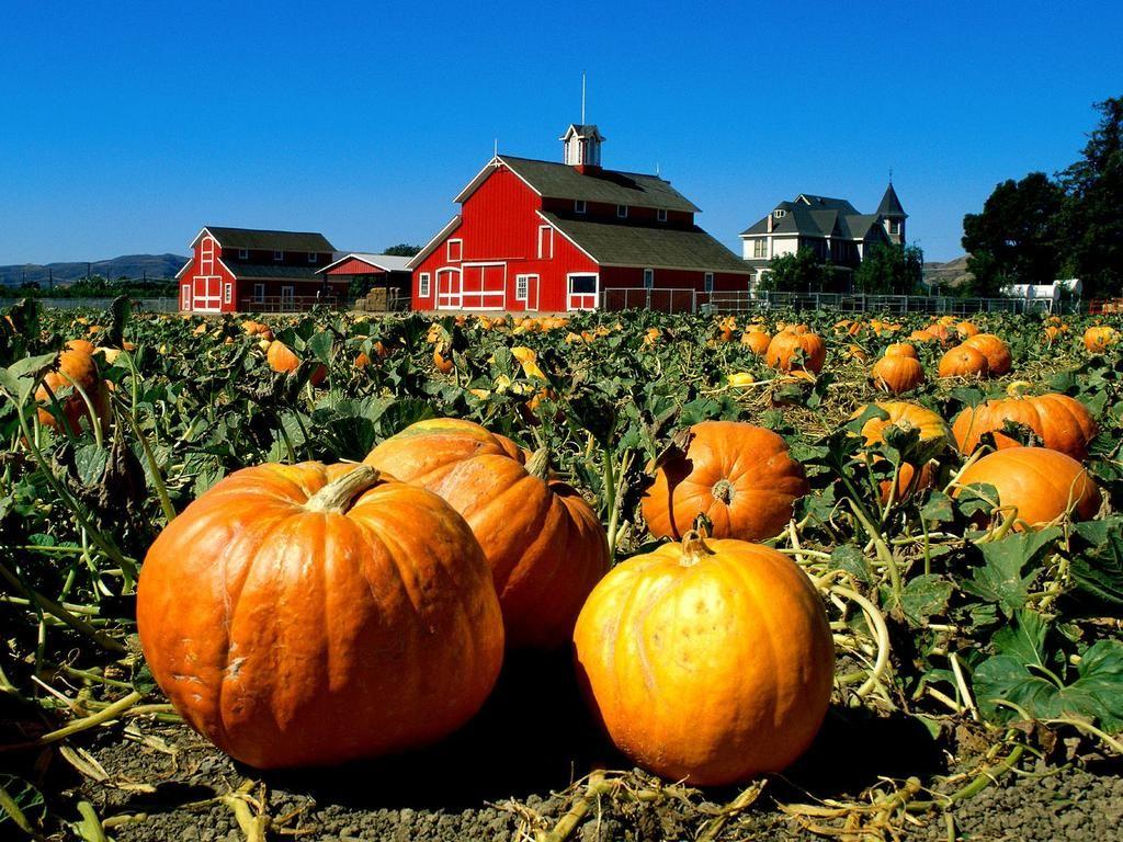 Thanksgiving Facts Legends Myths Traditions Growing Pumpkins Pumpkin Patch Pumpkin Field
