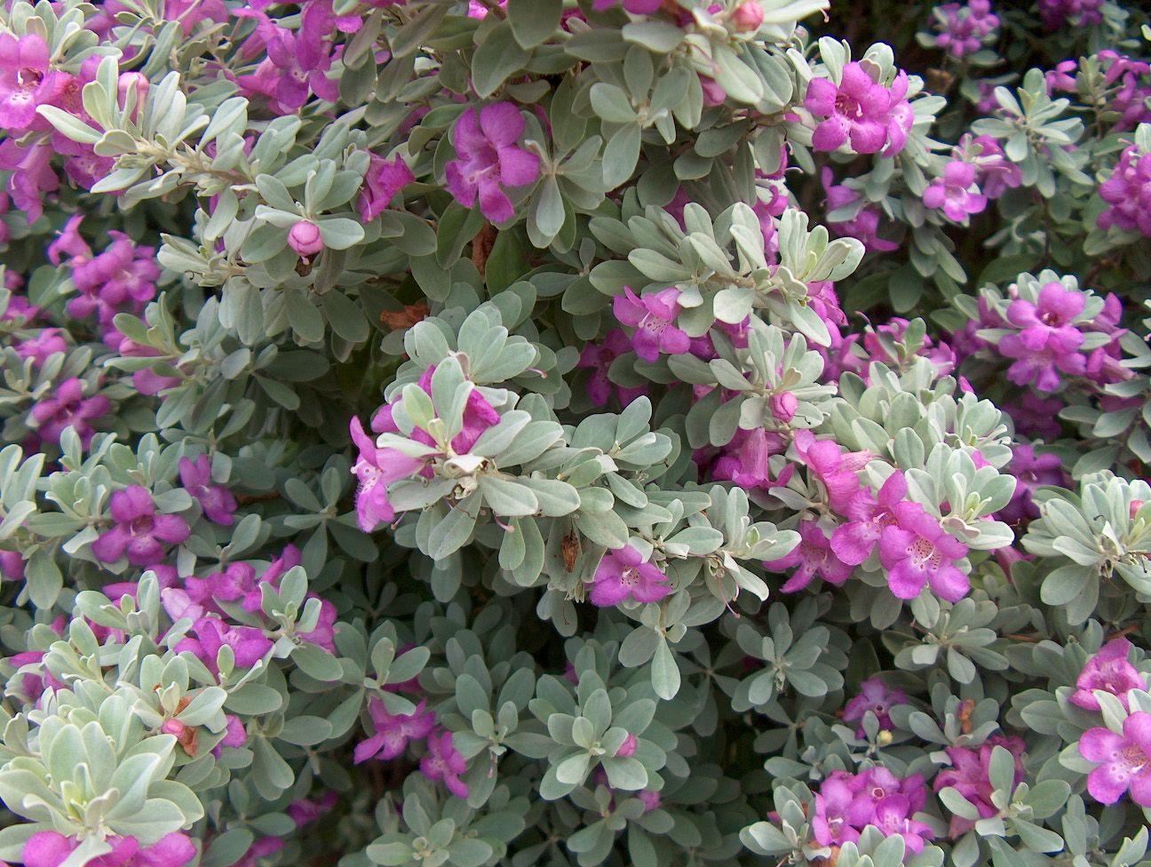 Picture of Live Texas Ranger aka Leucophyllum frutescens Plant Fit 1 Gallon Pot