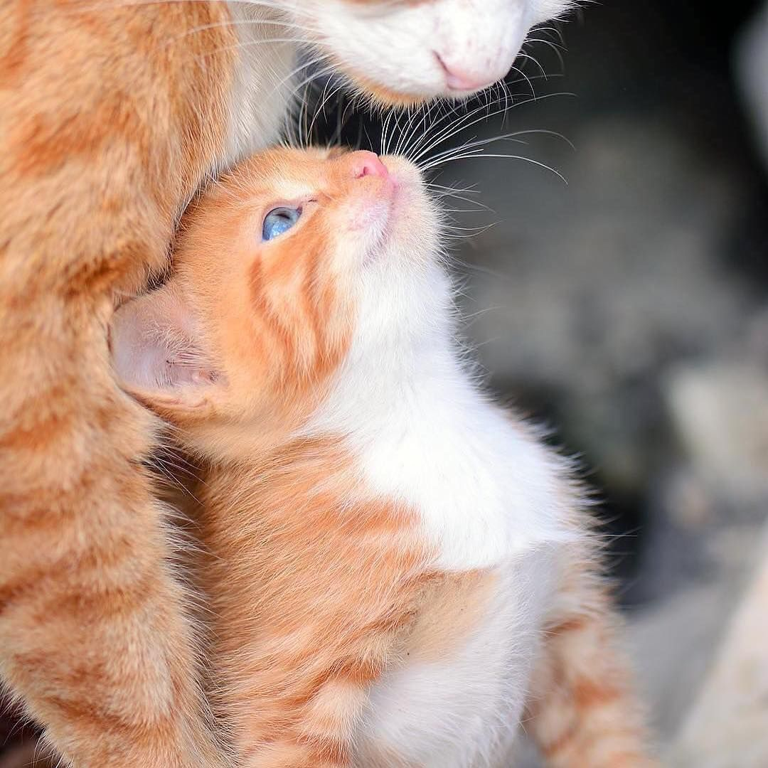Mommy I Love You Cute Cats Kittens Cutest Cute Animals