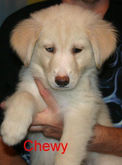 Goberian Puppy For Sale In Davenport Fl Adn 22952 On Puppyfinder Com Gender Male Age 8 Weeks Old Puppies For Sale Puppies Davenport Florida