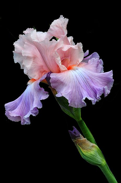 Pastel Pink Dave Mills Iris Flowers Flowers Photography Flower Painting