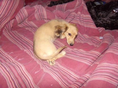 Akc English Cream Dachshund Female Puppy For Adoption Ghost Trail