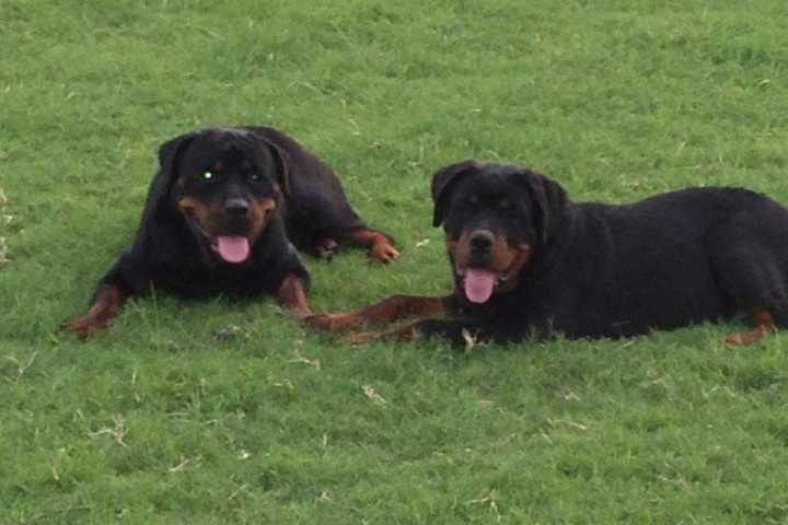 Rottweiler Destroyed Rottweiler Stories Dogs Two Dogs