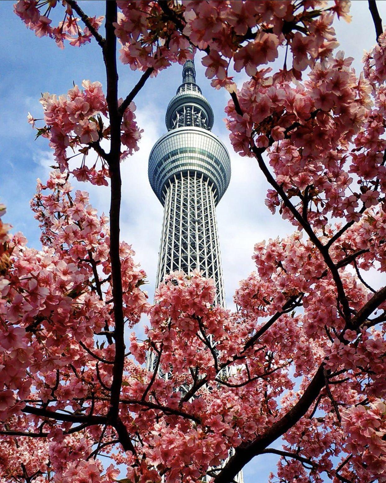 Sakura Japan Guide To Enjoy The Cherry Blossom Festival Spring 2021 Japan Cherry Blossom Festival Cherry Blossom Festival Cherry Blossom