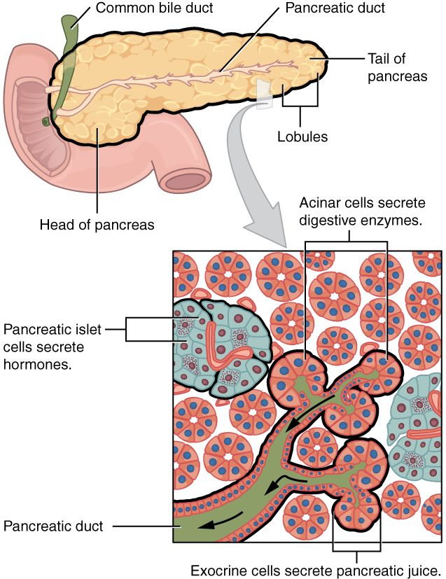 This figure shows the pancreas and its major parts. A magnified view ...