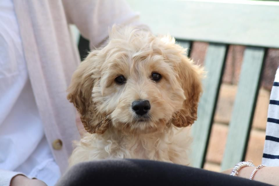 Bertie the Cockapoo puppy - Ben Withers