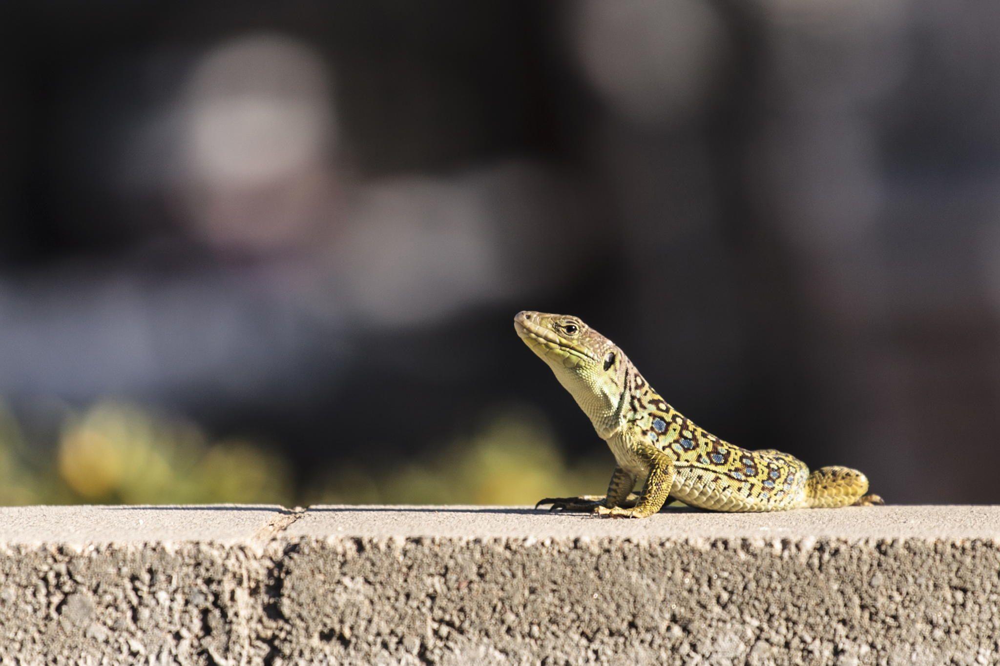Fotografía lagarto ocelado por Nathalie Pérez en 500px
