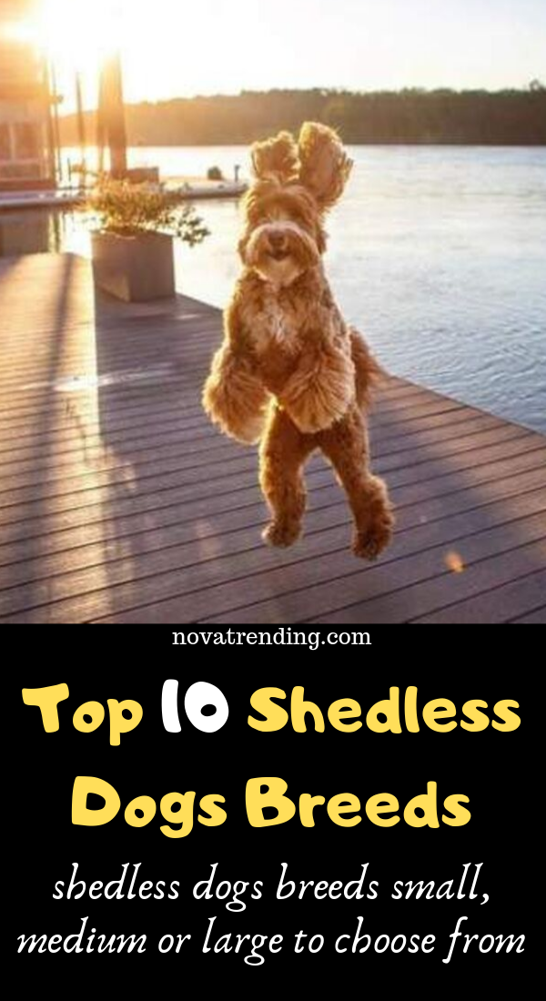 Top 10 Dog Breeds That Don T Shed Cute Dogs That Dont Shed Small Medium Dog Breeds Dogs Dog Breeds That Dont Shed