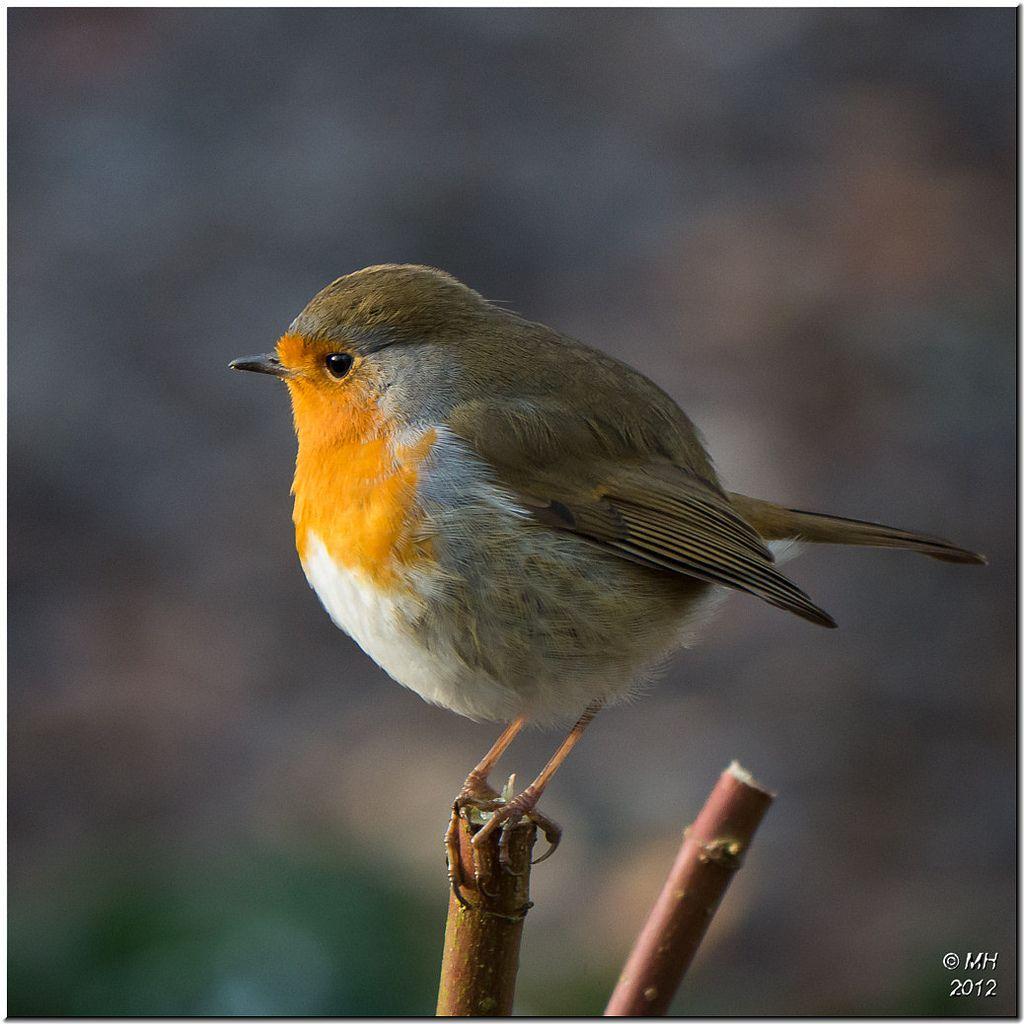 https flic kr p ddhx3o robin robin in the winter garden at