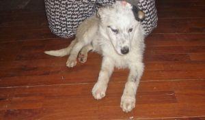 Adopt Mason On Border Collie Dog Australian Cattle Dog Blue