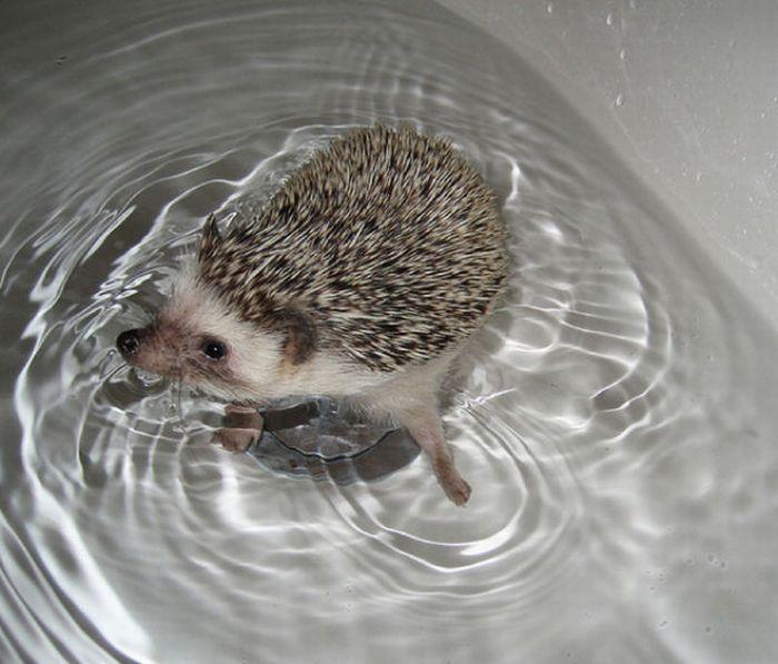 hedgehogs as pets | pictures bath bath time exotic pets funny hedgehog hedgehogs pets