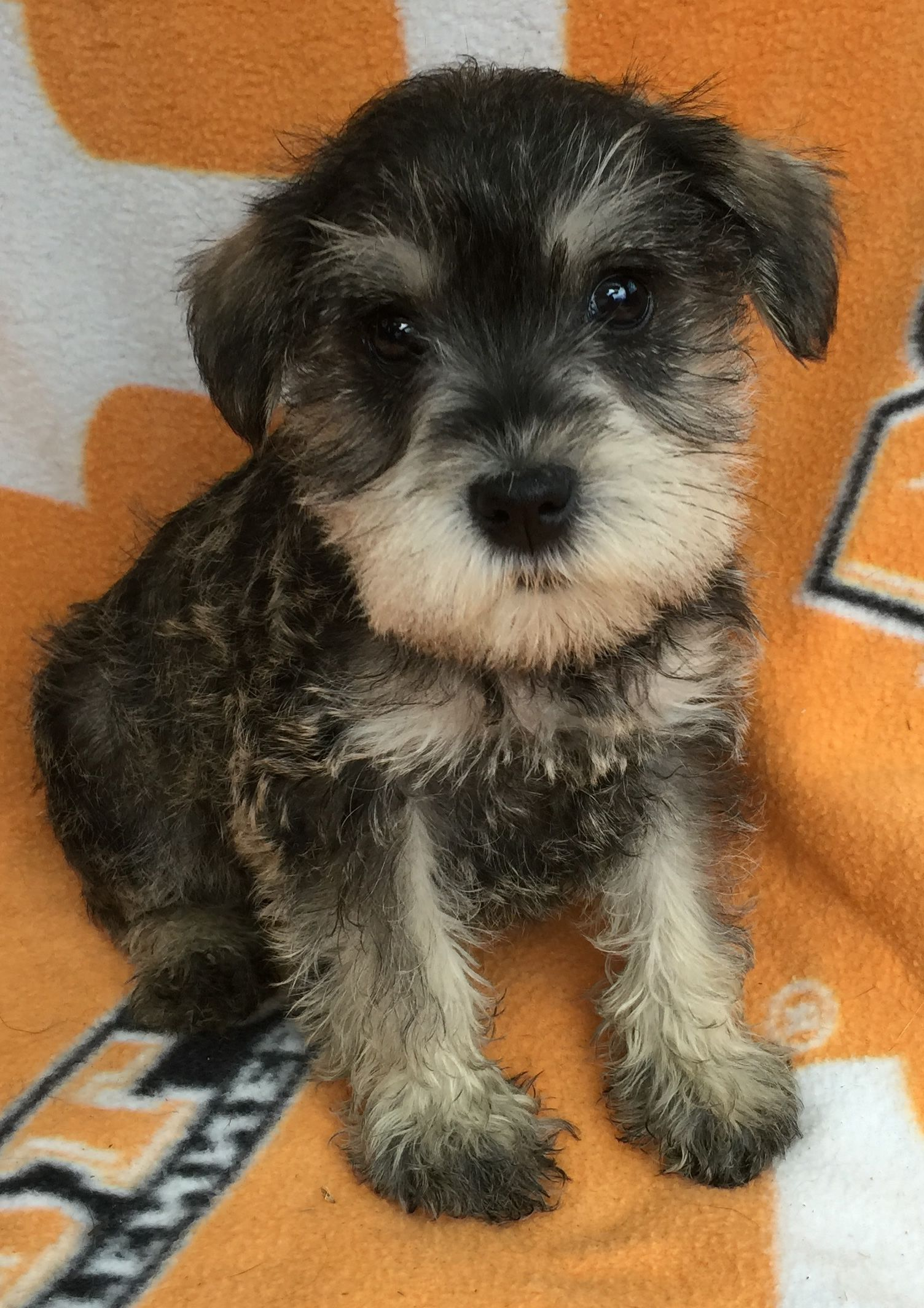 Miniature Schnauzer Puppies For Sale Salt And Pepper Color Schnauzer Puppy Miniature Schnauzer Puppies Miniature Schnauzer