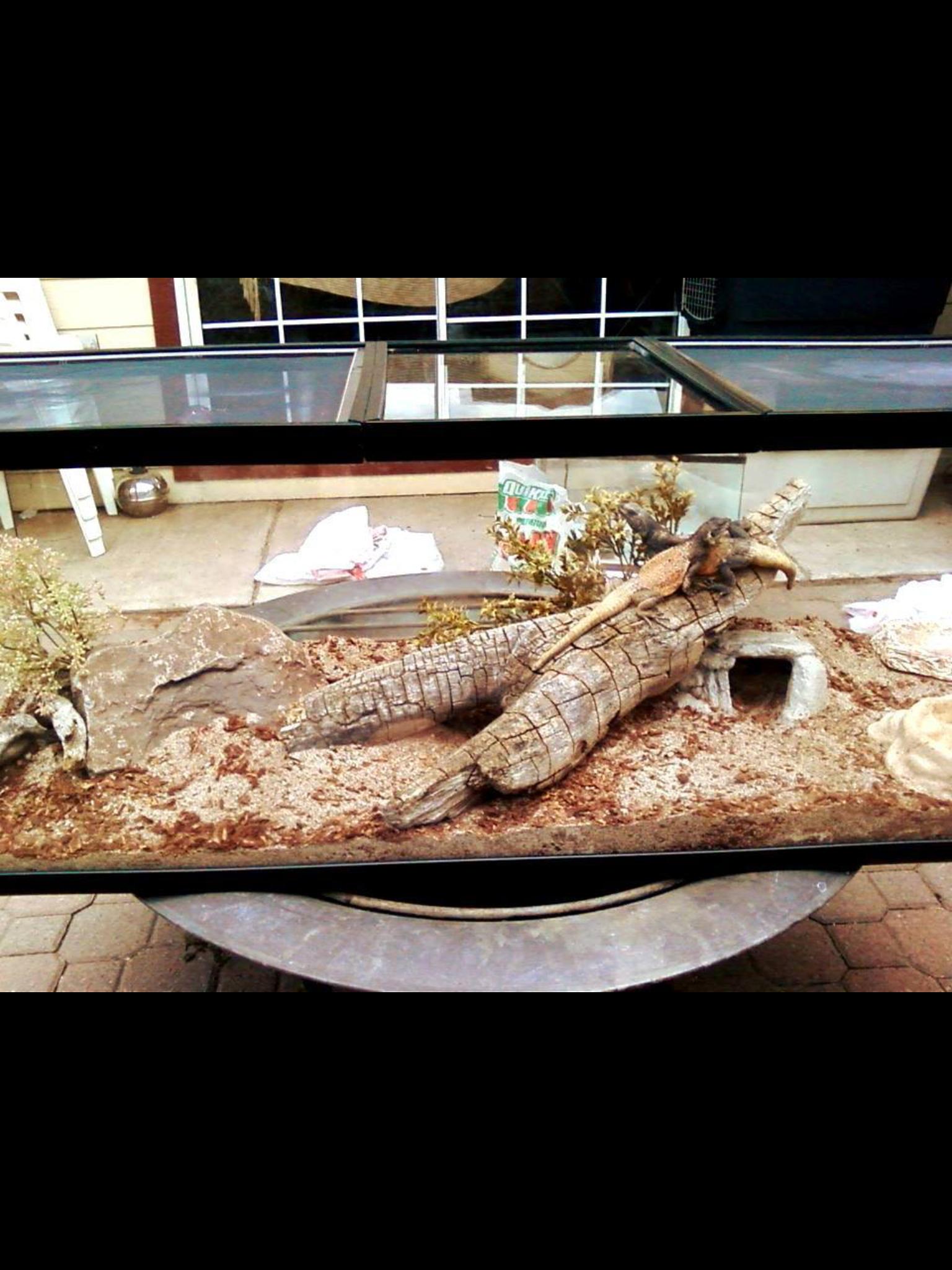 Chuckwalla pets pinterest bearded dragon bearded dragon cage