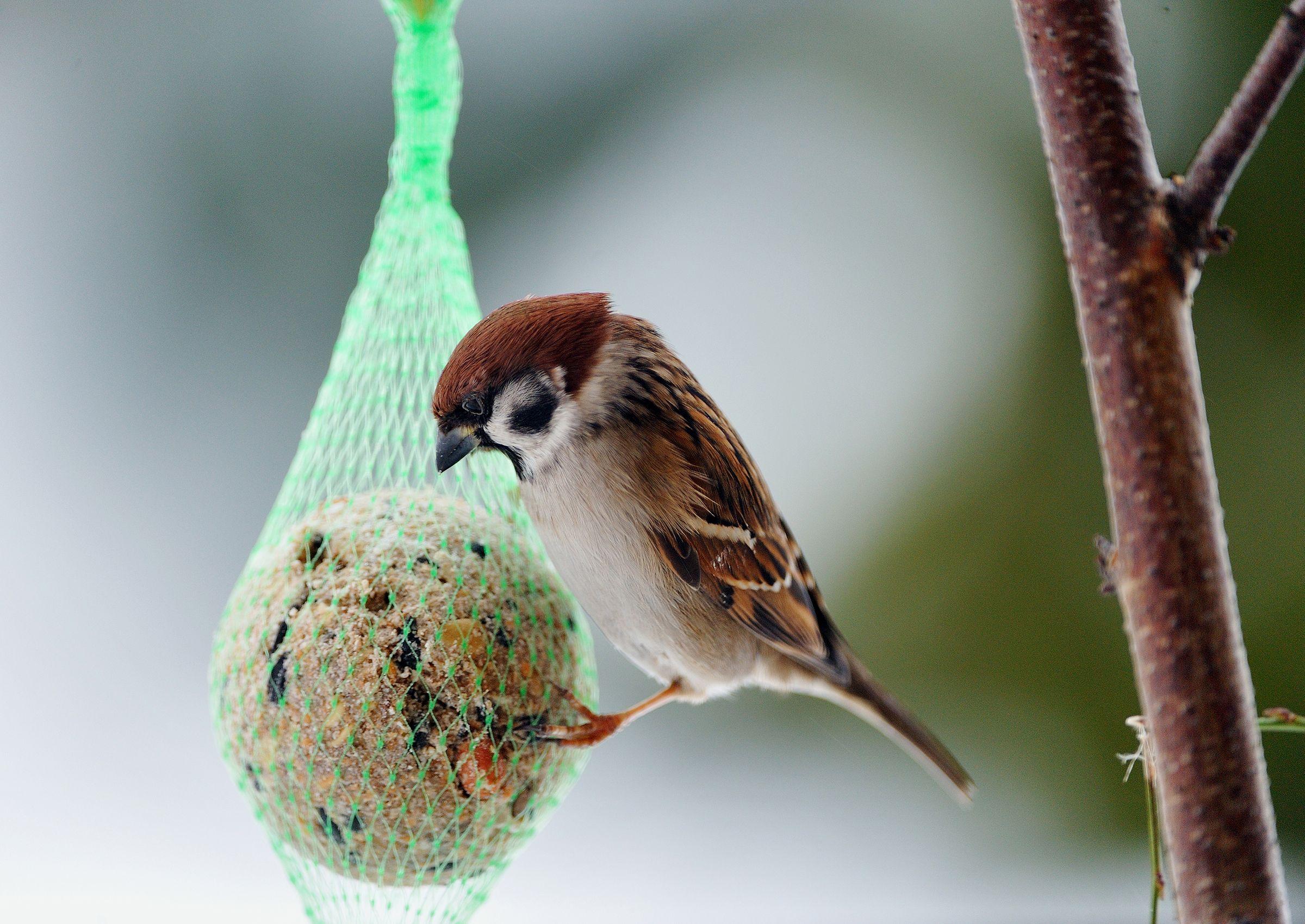 Jatka lintujen talviruokintaa, kunnes luonto tarjoaa taas syötävää. Lue Meidän talon vinkit ja kata ravitseva ateria pihapiirin sirkuttajille.